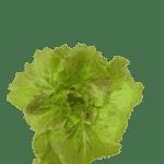 Wonder Lettuce